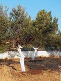 Tronchi di Olive Grove With Whitewashed Tree immagine stock libera da diritti