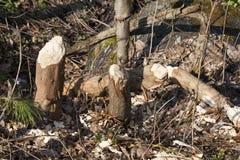 tronchi di piccoli alberi immagini stock