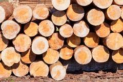 Tronchi di pinetree di Cutted Fotografie Stock Libere da Diritti