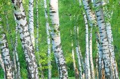 Tronchi di un boschetto della betulla nel primo mattino immagini stock
