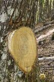 Tronchi di vecchia foresta verde della castagna immagini stock libere da diritti