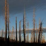 Tronchi e tramonto di albero bruciati nel giorno nuvoloso scuro Immagine Stock