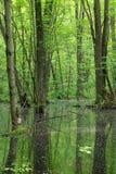 Tronchi verdi fertili di albero e del fogliame che riflettono nella palude fotografia stock