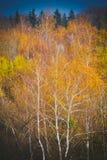 Tronco bianco di una betulla con la corona gialla Fotografie Stock Libere da Diritti