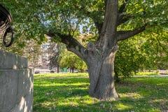 Tronco bifurcado de um carvalho velho na jarda da universidade estadual de Moscou, Rússia Fotos de Stock Royalty Free