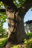 Tronco bifurcado de un roble viejo en la yarda de la universidad de estado de Moscú, Rusia Imagen de archivo