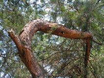 Tronco bizzarro curvo del pino Fotografia Stock Libera da Diritti