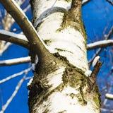 Tronco blanco de un árbol de abedul y de un cielo azul Foto de archivo