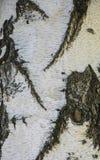 Tronco branco do vidoeiro, com listras cinzentas Árvore das texturas fotos de stock royalty free