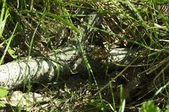 Tronco caido del abedul en hierba fresca en bosque de la primavera Imagenes de archivo