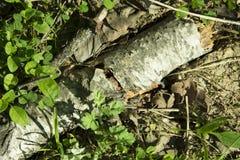 Tronco caido del abedul en hierba fresca en bosque de la primavera Imagen de archivo libre de regalías