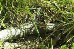 Tronco caido del abedul en hierba fresca en bosque de la primavera Foto de archivo libre de regalías