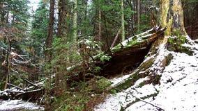 Tronco caido grande de la picea, abeto en el bosque, río de la montaña, corriente, cala con los rápidos en el último otoño, invie metrajes