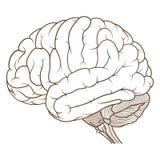 Tronco cerebrale colorato della vista laterale di anatomia del cervello umano pianamente illustrazione vettoriale