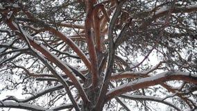 Tronco coberto de neve de um grande pinho filme