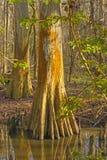 Tronco colorido de Cypress em um pantanal fotografia de stock royalty free
