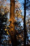 Tronco com folhas amarelas Fotografia de Stock