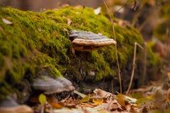 Tronco com musgo e cogumelos Foto de Stock