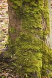 Tronco con el musgo, en otoño Imágenes de archivo libres de regalías
