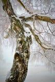 Tronco congelado, nevoso y torcido del abedul Imagen de archivo libre de regalías