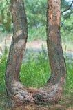 Tronco curvado de un pino. Imagenes de archivo