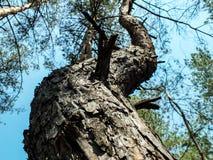 Tronco curvato del pino Immagini Stock Libere da Diritti