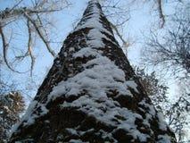 Tronco da árvore Fotografia de Stock Royalty Free