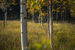 Tronco da árvore de vidoeiro Imagens de Stock Royalty Free
