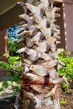 Tronco da palmeira Fotografia de Stock
