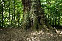 Tronco de árbol Imagen de archivo libre de regalías