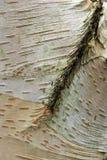 Tronco de árbol de abedul Imagen de archivo