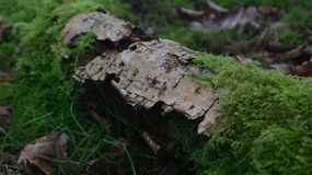 Tronco de árbol de abedul con el musgo Imágenes de archivo libres de regalías
