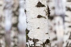 Tronco de árbol de abedul en un bosque en naturaleza Imagen de archivo
