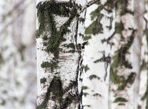 Tronco de árbol de abedul en un bosque en naturaleza Imágenes de archivo libres de regalías