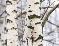 Tronco de árbol de abedul en un bosque en naturaleza Foto de archivo libre de regalías