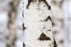 Tronco de árbol de abedul en un bosque en naturaleza Fotografía de archivo libre de regalías
