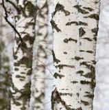 Tronco de árbol de abedul en un bosque en naturaleza Fotografía de archivo