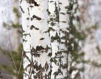 Tronco de árbol de abedul en un bosque en naturaleza Imagenes de archivo