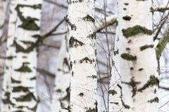 Tronco de árbol de abedul en un bosque en naturaleza Imagen de archivo libre de regalías