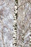 Tronco de árbol de abedul en un bosque en naturaleza Fotos de archivo libres de regalías