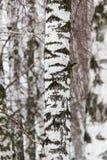 Tronco de árbol de abedul en un bosque en naturaleza Fotos de archivo