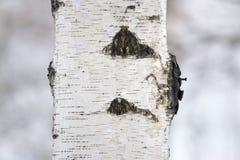 Tronco de árbol de abedul en un bosque en naturaleza Foto de archivo
