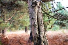 Tronco de árbol de abedul de plata Fotografía de archivo libre de regalías