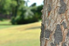 Tronco de árbol de abeto Fotografía de archivo libre de regalías