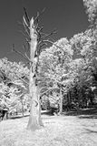 Tronco de árbol de castaña dulce Fotos de archivo