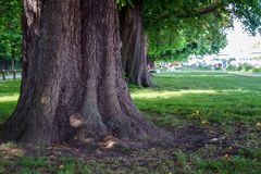 Tronco de árbol de castaña en parque del jardín del verano foto de archivo