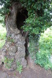 Tronco de árbol con el agujero ranurado Imagenes de archivo