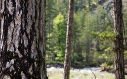 Tronco de árbol con el detalle de la corteza Bosque borroso, fondo de la naturaleza Copyspace, cierre encima de la visión Imagen de archivo