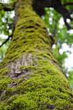 Tronco de árbol con el musgo Imagen de archivo