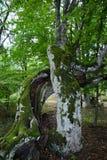 Tronco de árbol con el musgo Imagen de archivo libre de regalías